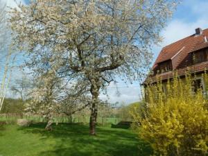 Blühender Kirschbaum und Sträucher